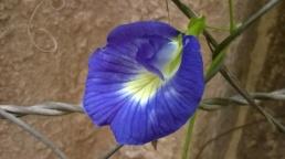 Butterfly pea 2