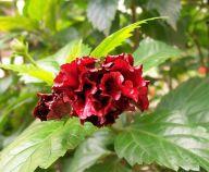 dark-red-hibiscus-bud-2